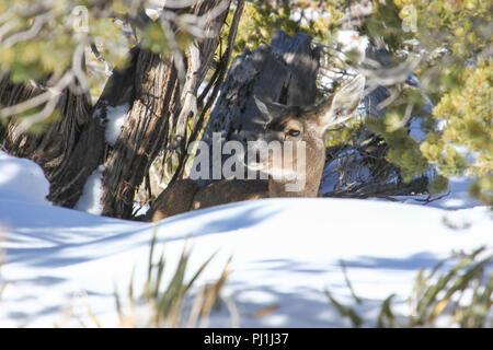 A mule deer doe bedded in snow. - Stock Image
