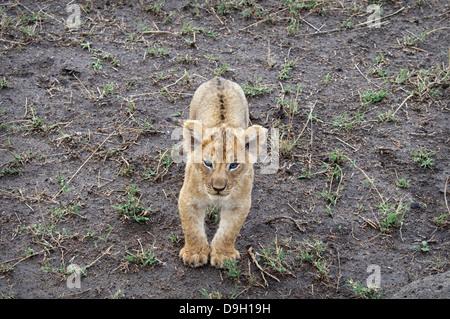 Cute, small African Lion Cub, Panthera leo, looking up at the camera, Maasai Mara National Reserve, Kenya, Africa - Stock Image