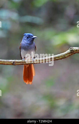A female Blyth's or Oriental Paradise-Flycatcher (Terpsiphone affinis) in the forest in Western Thailand - Stock Image