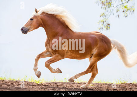 Haflinger Horse. Adult stallion in a gallop in a paddock. South Tyrol, Italy - Stock Image