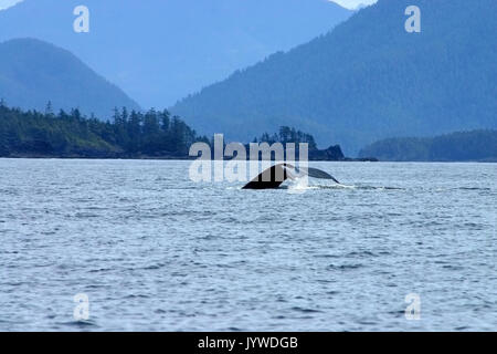 Humpback Whale (Megaptera novaeangliae) with the beautiful scenery of Vancouver Island - Stock Image