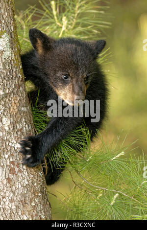 Young black bear cub, Ursus americanus, Cades Cove, Great Smoky Mountains National Park, Tennessee - Stock Image