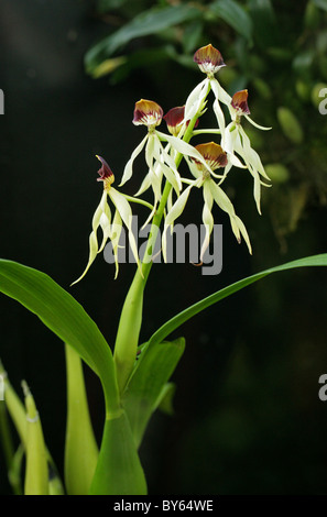 Cockle Shell Orchid or Clamshell Orchid, Prosthechea cochleata, Laeliinae, Orchidaceae. Central America, West Indies. - Stock Image