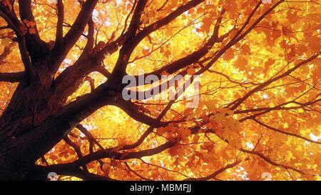 Maple tree in autumn - Stock Image