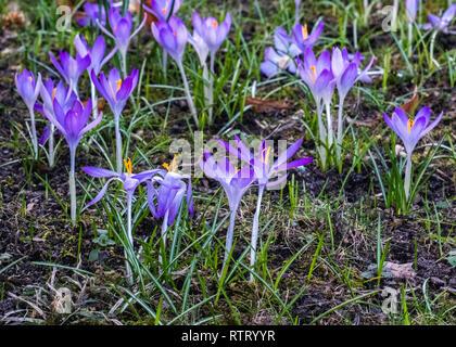 Berlin Wilmersdorf. The First crocus flowers of Spring, Crocuses in a suburban garden - Stock Image