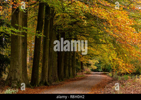 Trees in autumn colours at Beechenhurst in the Forest of Dean, Gloucestershire, England - Stock Image