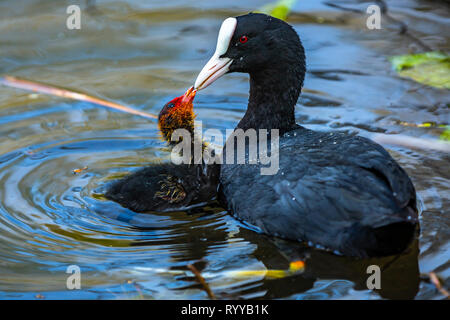 Good parenting by a mother coot and young child - Stock Image