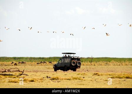 White Pelican (Pelecanus onocrotalus) flying over a safari Landcruiser Lake Manyara National Park Tanzania - Stock Image