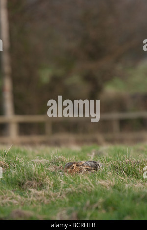 Brown Hare in a field - Stock Image