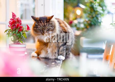 Tabby Persian cat glaring at camera in a garden - Stock Image