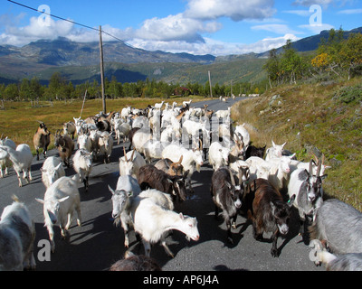 Goats on the road during Indian summer on Slettefjel Jotunheimen in Norway - Stock Image