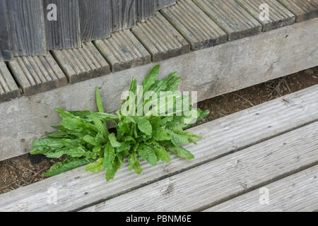 Leaves of Dandelion [Taraxacum officinale] growing out of a wooden structure. - Stock Image