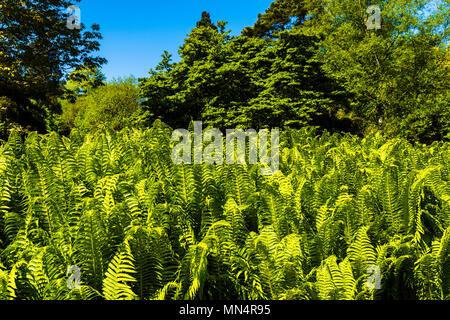 Green ferns at Chartwell, Kent, UK - Stock Image