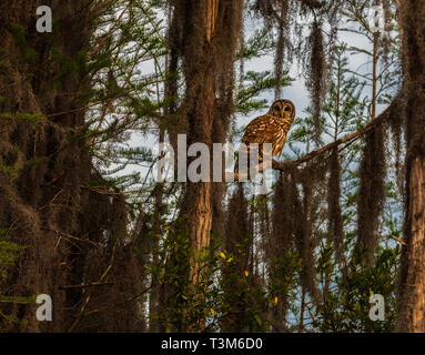 A Barred owl sitting on a limb among trees covered in spanish moss. - Stock Image