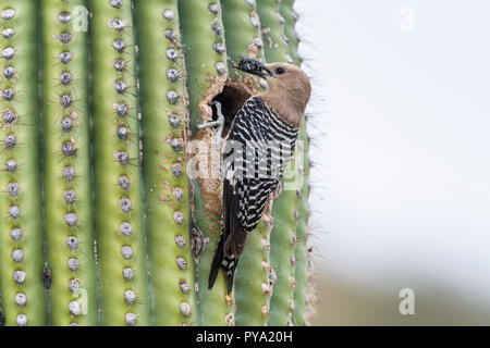 A female Gila Woodpecker (Melanerpes uropygialis) perches at her nest in a Saguaro (Carnegiea gigantea) with  food for the young.  Arizona - Stock Image