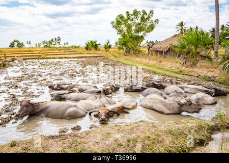Animal stock in Southeast Asia. Herd of cattle, zebu, buffaloes or cows in a field swims in a dirt, mud, hight water. Village in rural East Timor - Ti - Stock Image