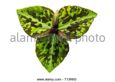 Trillium cuneatum from above and cut out or isolated on a white background, UK. - Stock Image