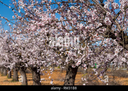 Almond blossom, prunus dulcis in the Jalon Valley, Costa Blanca, Spain - Stock Image