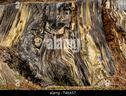 Base of tree bark texture or background, showing signs of past fire - Stock Image