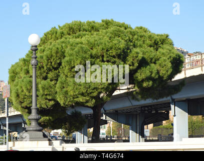 One large pine with a huge spreading crown and one round city lantern on the background of a bridge in the center of Genoa, Italy, Sunny day. - Stock Image
