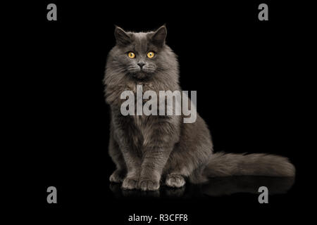 Furry Gray Cat Sitting and Looking in Camera on Isolated Black Background, front view - Stock Image