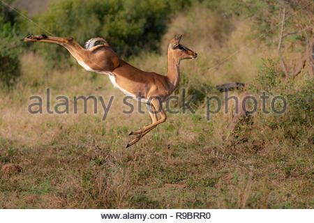 Impala (Aepyceros melampus) running, iMfolozi game reserve, KwaZulu-Natal, South Africa - Stock Image