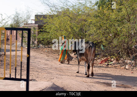 An Indian lady walking alongside cows. Rajasthan, India. - Stock Image