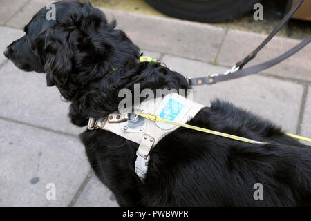 Black Guide Dog for the blind with harness waiting patiently in the street for a bus  UK  KATHY DEWITT - Stock Image
