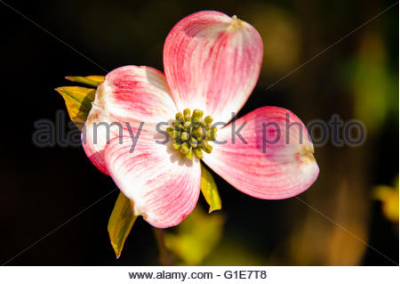 Flowering Dogwood (pink) or Cornus Florida in Spring, Spring has Sprung finally with the warm weather, plants are - Stock Image