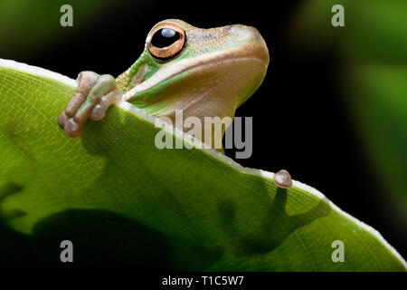 Little green tree frog sitting on a banana leaf - Stock Image