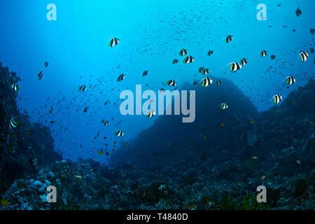 School of Bannerfish, Heniochus diphreutes, in canyon seascape, Verde Island Passage, Philippines. - Stock Image