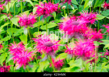 Summer flowers blowing in the wind in a garden, Clitheroe, UK. - Stock Image
