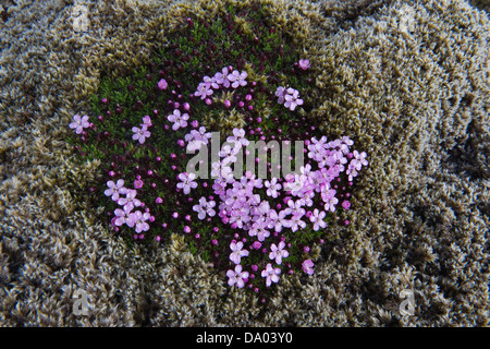 Moss campion (Silene acaulis) with rain droplets flowers among long fringe-moss (Racomitrium elongatum) on lava - Stock Image