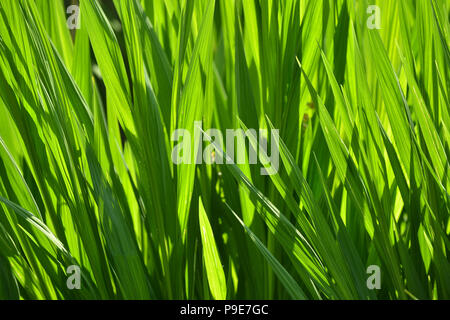 Green fronds of plants in a garden - Stock Image