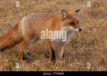red fox fall Japan fur wild zorro zorra - Stock Image