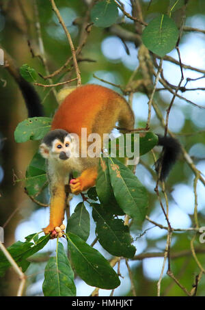 Squirrel Monkey (Saimiri oerstedii) feeding on fruit in rainforest, Corcovado National Park, Osa, Costa Rica. - Stock Image