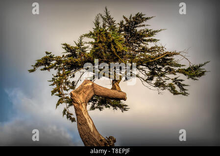 Top of a Twisted cypress tree in Point Reyes National Seashore to convey the concept of endurance in the face of life difficulties - Stock Image