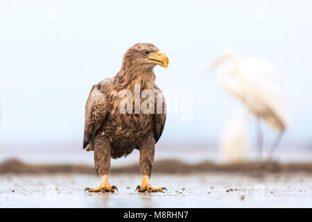 Adult White-tailed Eagle (Haliaeetus albicilla)  on a frozen lake - Stock Image