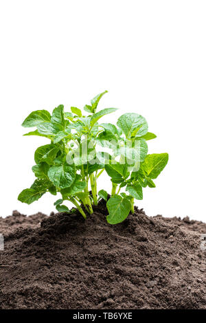 Potato  sprouts in soil isolated on white - Stock Image