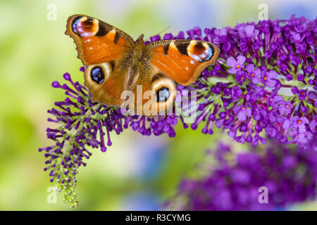 Peacock butterfly, Inachis io resting on colorful purple Butterfly Bush - Stock Image