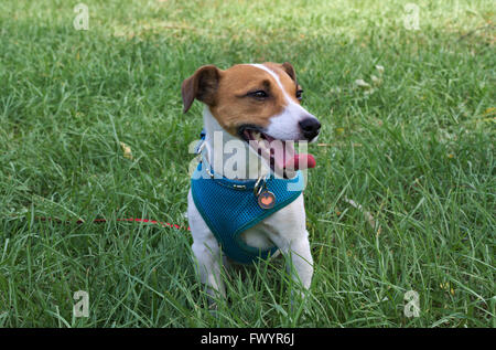 Pet fox terrier on lead, with tags, on green grass - Stock Image