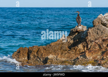 immature Mediterranean Shag, (Phalacrocorax aristotelis desmarestii), Ibiza, Balearic Islands, Spain, Mediterranean Sea - Stock Image