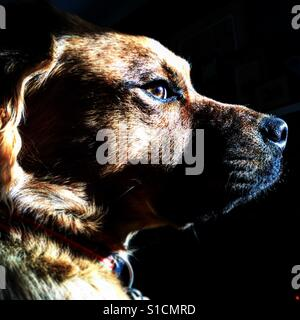 Retriever chow puppy looks out a window - Stock Image