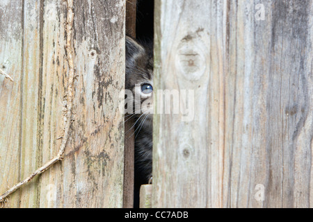 Domestic Cat, Kitten, Peering out of Garden Shed Door Lower Saxony, Germany - Stock Image