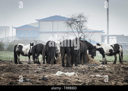 Cobb horses feeding on hay near household waste incinerator at Haverton Hill, Teesside, north east England. UK. Feeding area strewn with plastic bags. - Stock Image