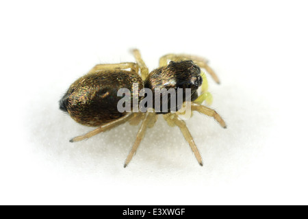 Juvenile female Heliophanus flavipes spider, part of the family Salticidae - Jumping spiders. Isolated on white - Stock Image