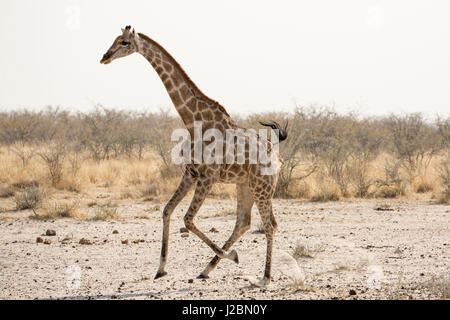 Africa, Namibia, Etosha National Park. Running giraffe. Credit as: Wendy Kaveney / Jaynes Gallery / DanitaDelimont.com - Stock Image