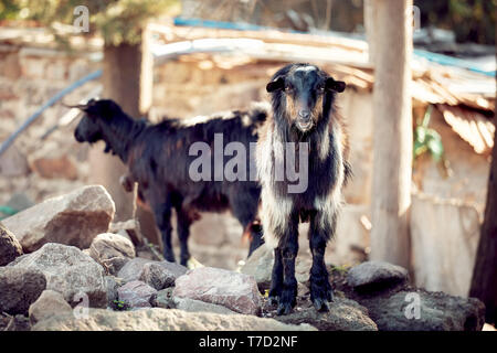 Black Turkish hair goats standing on the rocks in a rural area - Stock Image