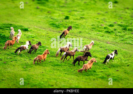 Wild horses running on a green meadow seen from above in the spring - Stock Image