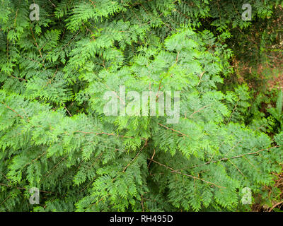 Reaching for the Light: A young Western Red Cedar sapling sprouts from the forest floor and reaches toward the canopy. - Stock Image